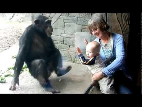 chimp vs baby