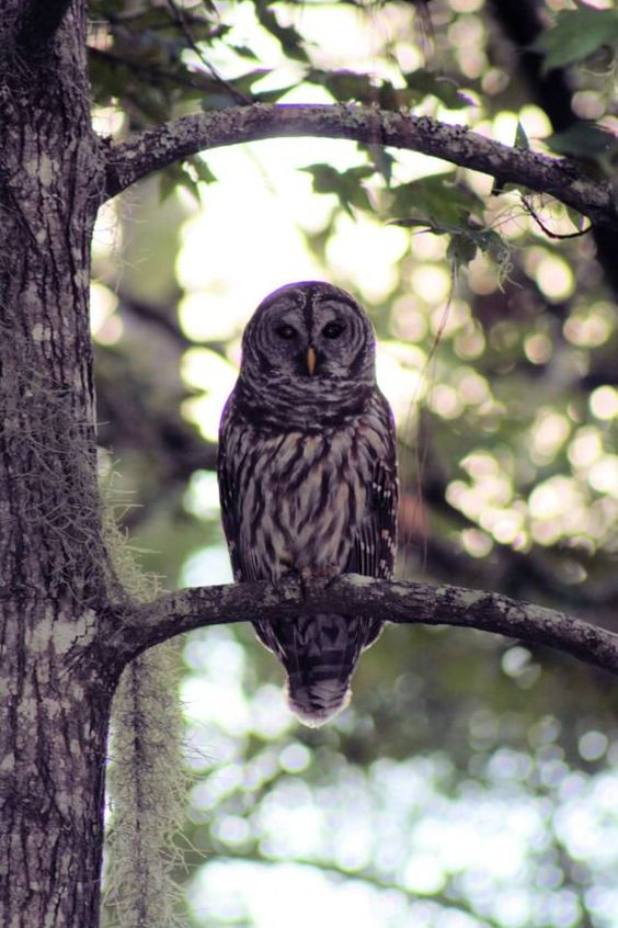 Florida Owl.This wild life is what camping is all about.