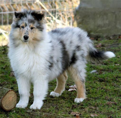 Shetland Sheepdog Energetic And Playful Dogs Sheltie Dogs