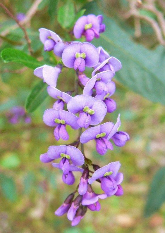 Hardenbergia violacea (Native Lilac)