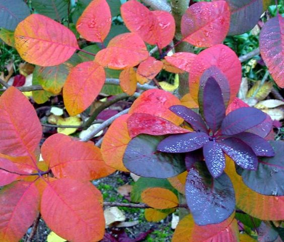 Smoke Bush (Cotinus) This shrub doesn't do the usual orange and yellow… if you need a change, this maroon shrub changes over to a deep, dramatic purple and blooms smoke like tufts of flowers. Very good specimen plant!