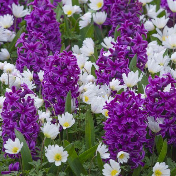 Anemone blanda 'White Splendour' zwischen der violetten Hyazinthe 'Miss Saigon'. Pflanzzeit ist im Herbst - online erhältlich bei www.fluwel.de