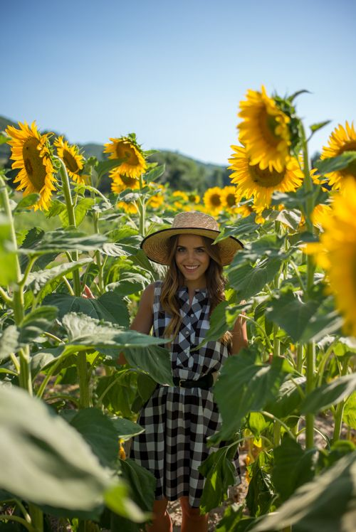Sunflower fields in Provence: