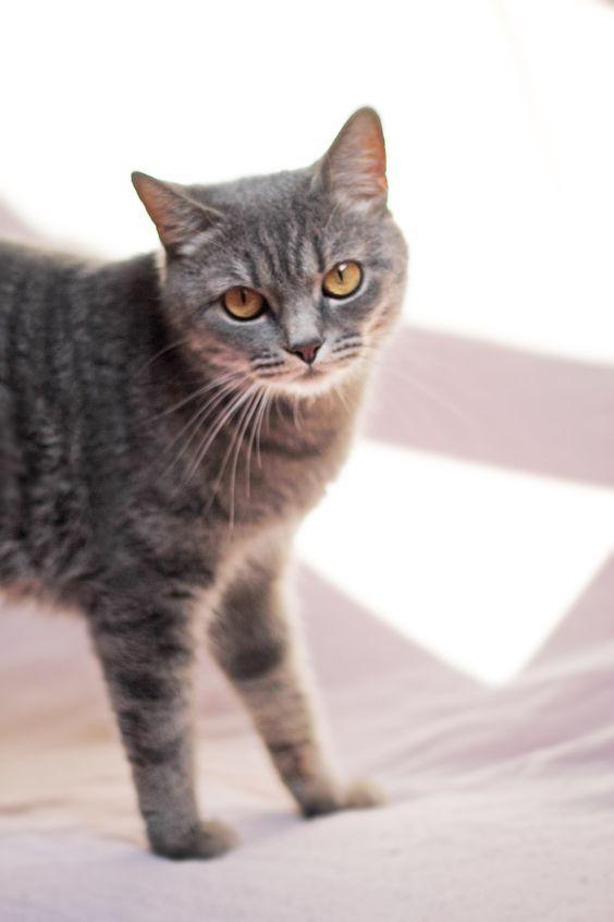 Шотландские вислоухие котята в Калининграде