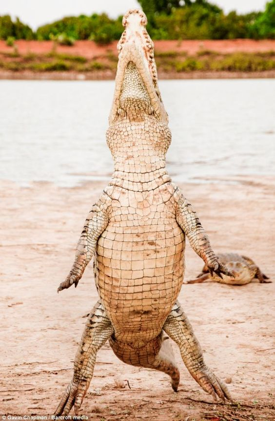 Horror on hind legs: 12-foot crocodile stands up as ...
