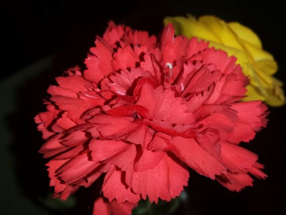 Cravo #flower #love