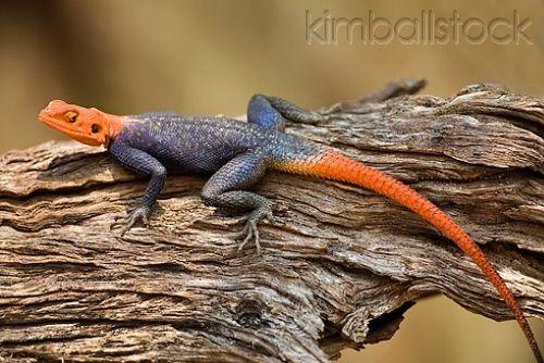 Kenyan Rock Agama Lizard Sunning On Log In Savanna Kenya Lizard Animals Of The World Namibia