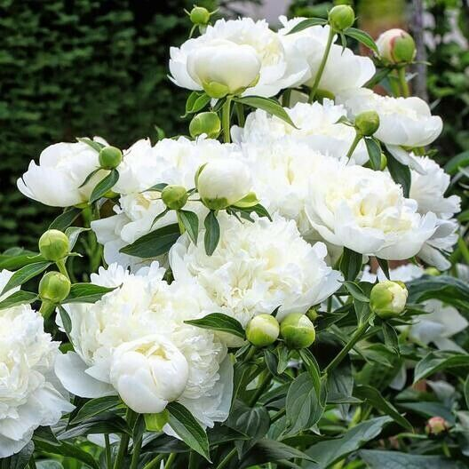 Nice Root With 3 To 5 Eyes Good For Zone 3 To 9 It Should Bloom Next May Or June Plants Are Dormant I With Images Spring Plants Fall Plants Planting Peonies