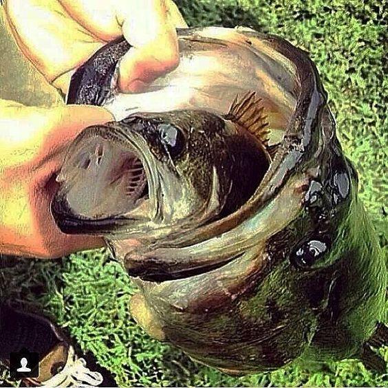 largemouth bass eating - photo #11