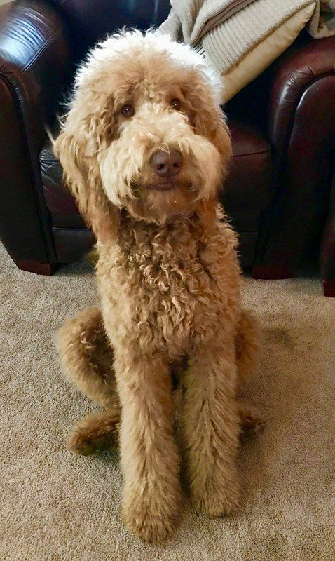 Belladoodles Goldendoodles Goldendoodle Goldendoodle Haircuts Goldendoodle Puppy