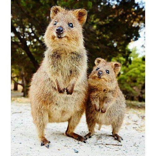 Sabias que el #Quokka es de los animales más felices del planeta entero?! Lo encontramos principalmente en Australia.....a mī me parecen muy hermosos jajaja  by instasunmusic