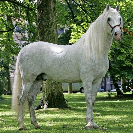 Cheval Espagnol Blanc A Vendre Cheval Espagnol Grands Chevaux Animales