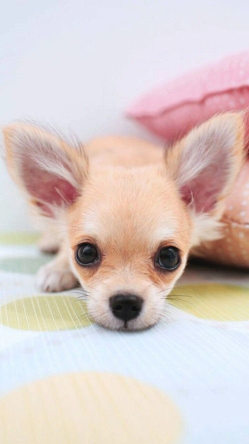 Chihuahua Baby Dogs Cute Animals Cute Puppies