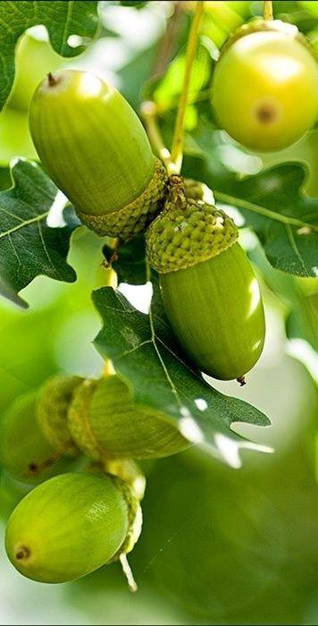 Fall - green acorns