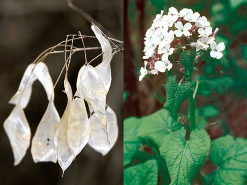 Perennial Honesty Plant (Lunaria rediviva); unlike the annual version that's unscented, this one has strongly fragrant flowers in spring followed by transparent fruit. Best grown in clumps of 5 plants. Grows well in cool climates.