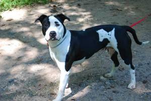 SNICKERS 117326: Pit Bull Terrier, Great Dane Dog; Newark, NJ