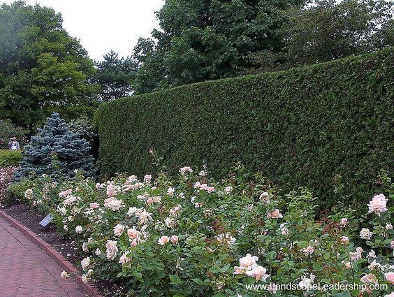 hedge + roses