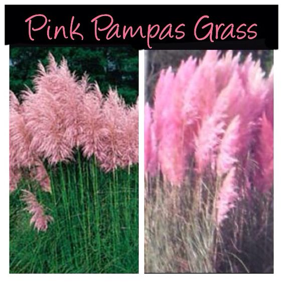 Pink PampasGrass. This is just like the huge white ones you see growing, I just discovered it also grows pink