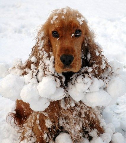 10 Dogs in Snow Spaniels, Snowball and Puppys
