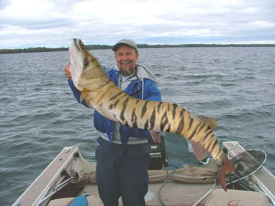 Pound for pound a tiger and patterns on pinterest for Tiger muskie fishing
