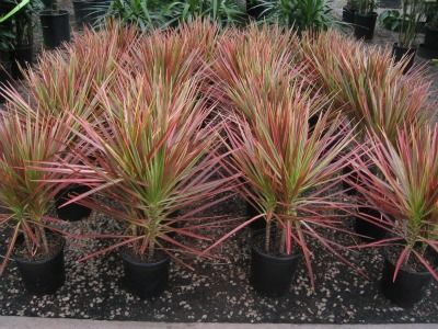 The Red Edged Dracaena plant. One of the best air cleaning ...