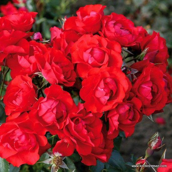 KORDES róże Schwarzwald Rose ® - Black Forest Rose