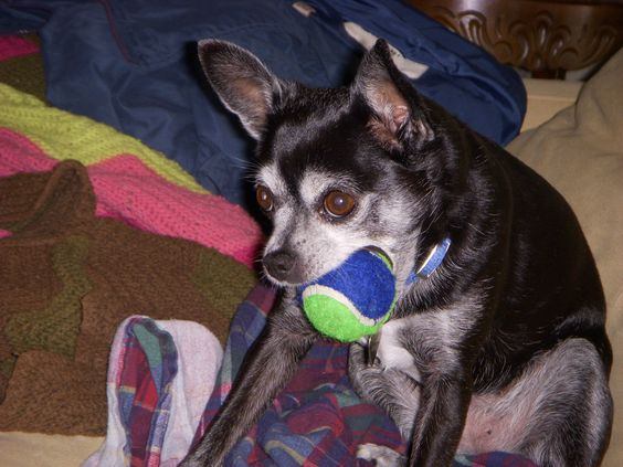 Black & now Gray Chihuahua Roxie!!