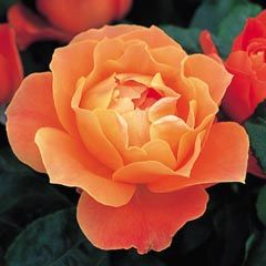 Fellowship - David Austin Roses - vivid coral with a delicate scent.