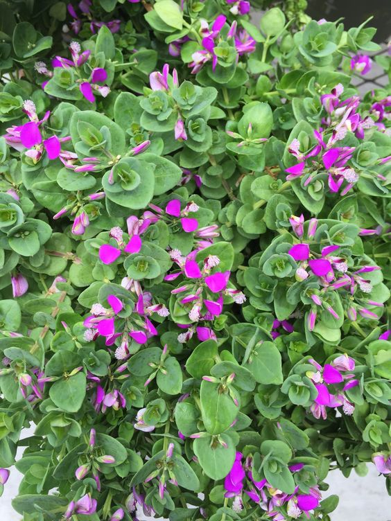 Sweet pea shrubs are evergreens that bloom on and off all year long. They like shade in the summer and full sun in the winter. They require minimal care and very little water.