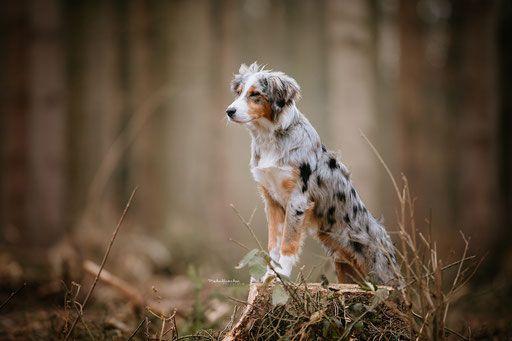 Australien Shepard Welpe Bei Fotoshooting Im Wald Hunde Schone