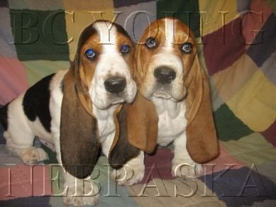BC YOUNG BASSET HOUND PUPPIES | Landscaping Ideas ...