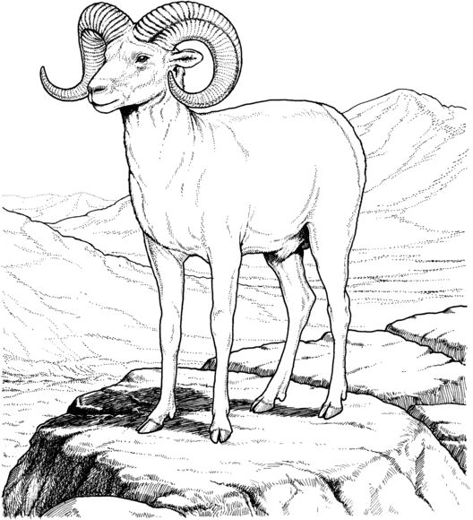 Rocky Mountain Bighorn Sheep Coloring Page Free Printable Coloring Pages Animal Coloring Books Coloring Pages Animal Coloring Pages
