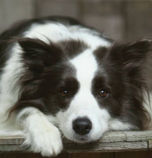 A Young Border Collie Worrying Bordercollie Collie Collie Dog Collie Puppies