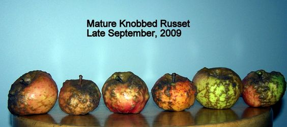 Knobbed Russet Apple I Want It Because It Is So Gosh Darn