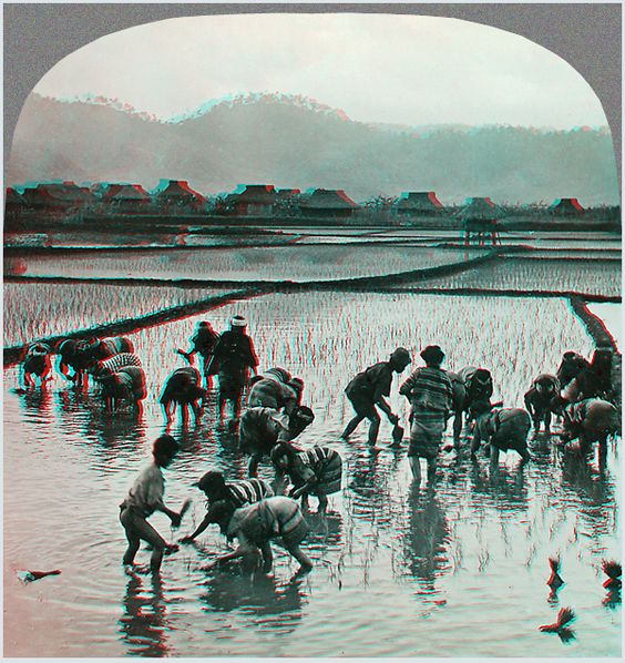 Igorrotes Planting Rice, Island of Luzon, P. I. (Philippines), 1906  http://khnemo.wordpress.com/2009/12/31/blicke-in-die-welt-um-1900-– 4/