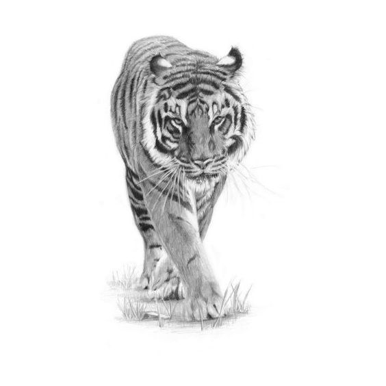 how to draw a tiger with pencil