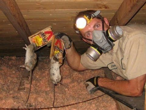 How To Get Rid Of Mice In Your House Amazing Tips For Getting Rid Of Mice Natu Amazin Getting Rid Of Mice Pest Control Getting Rid Of Rats