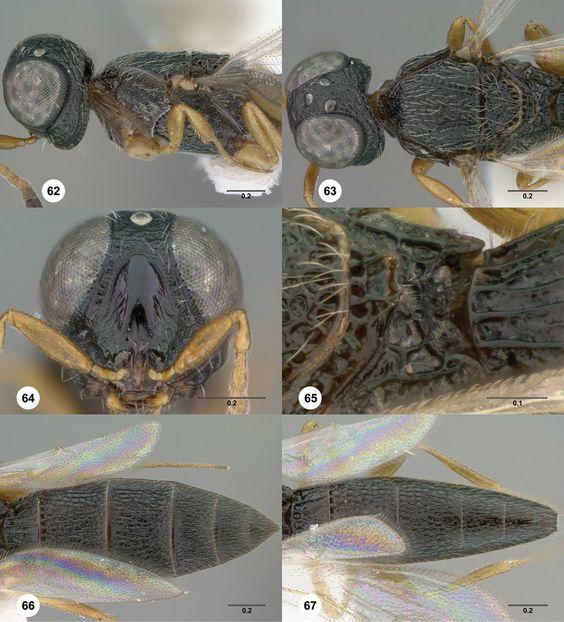 Oxyscelio quassus holotype