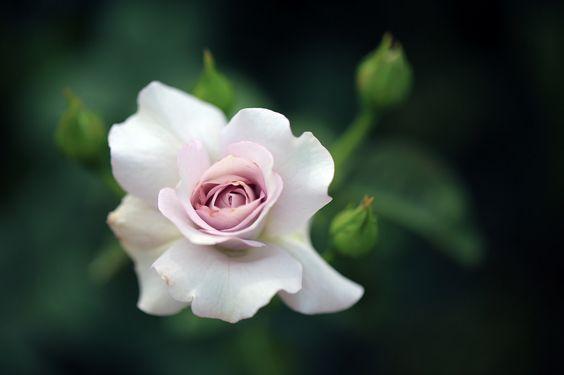 pinkblumen:  {❀} /blowblowblow
