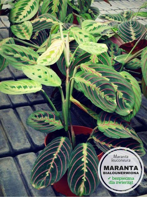 Rosliny Doniczkowe Bezpieczne Dla Psa I Kota Plants Plant Leaves Nature
