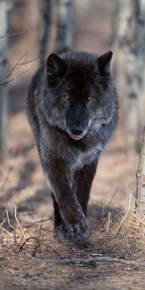 Black Wolf Walking Through a Forest.