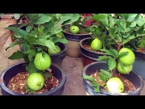 Youtube Guava Fruit Tree Guava Plant Guava Fruit