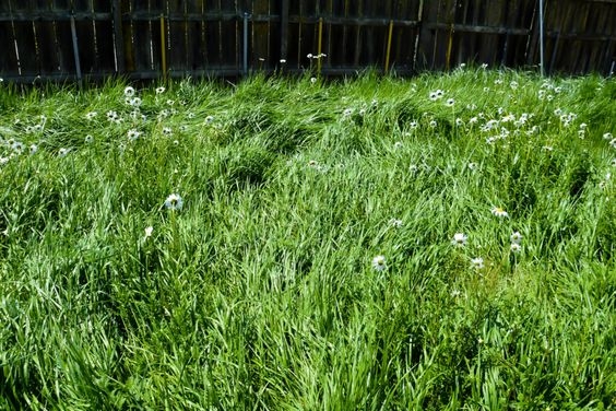 Leymus triticoides lagunia creeping wild rye suggested for Wild grass gardens