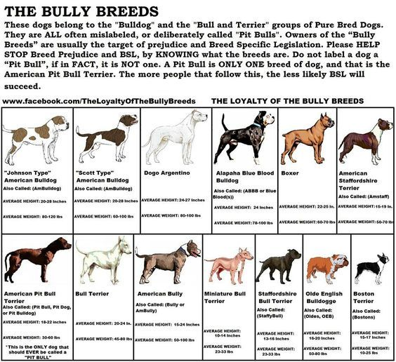What Is A Bully Breed Top Dogumentary Bully Breeds Dogs Bully Dog