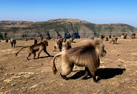 Gelada baboons, Simien Mountains National Park, Ethiopia, Africa (© Hemis/Alamy)     With more human settlements, farms and road construction, there's been a steady decline in the population of gelada baboons, Simien foxes and walia ibex, a wild mountain goat found nowhere else on Earth. Because of these human factors, the park has been on UNESCO's List of World Heritage in Danger since 1996.