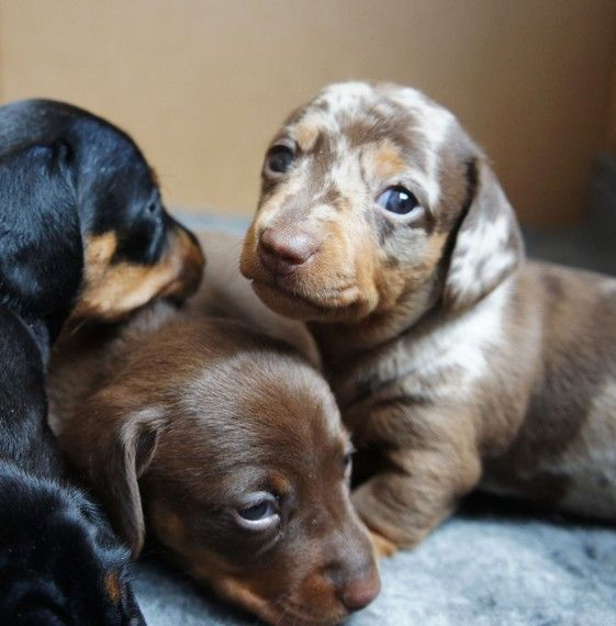 1 Kc Reg Black And Tan Boy Left Ready To Go Dachshund Puppies