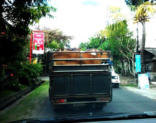 Ubud, Bali. Local way to transporting cows.