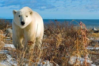 En baie d'Hudson, la ruée vers l'ours