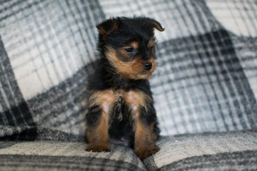 Yorkshire Terrier Puppy For Sale In Kent Oh Adn 59455 On