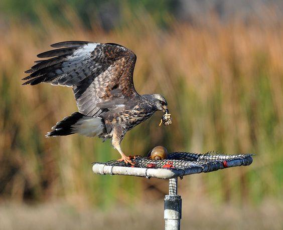 Snail Kite Eating Snail (Female) | Birds&More | Flickr